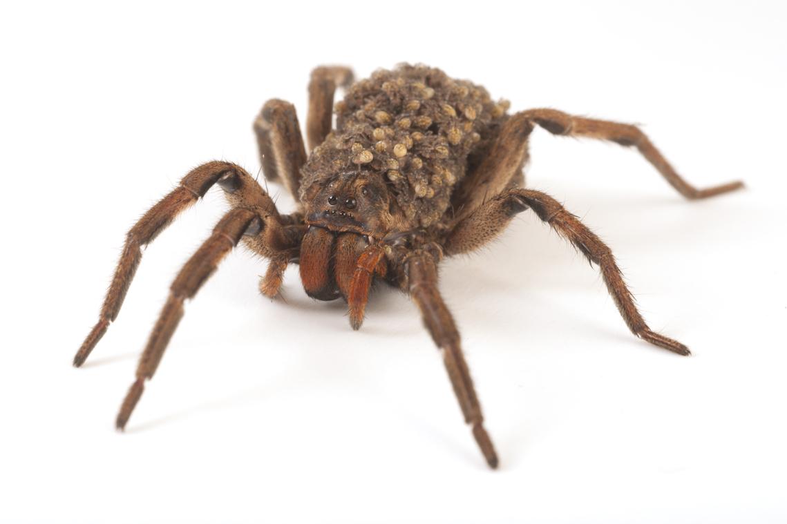 Araña1