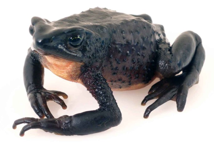 El Jambato negro del páramo, Atelopus ignescens, resucitó