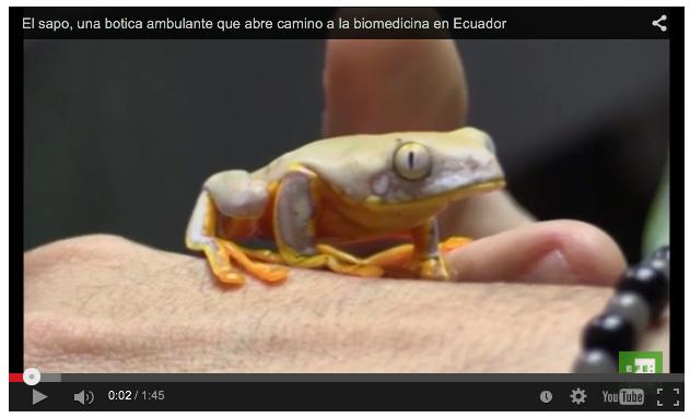 """El sapo, una """"botica ambulante"""" que abre camino a la biomedicina en Ecuador"""