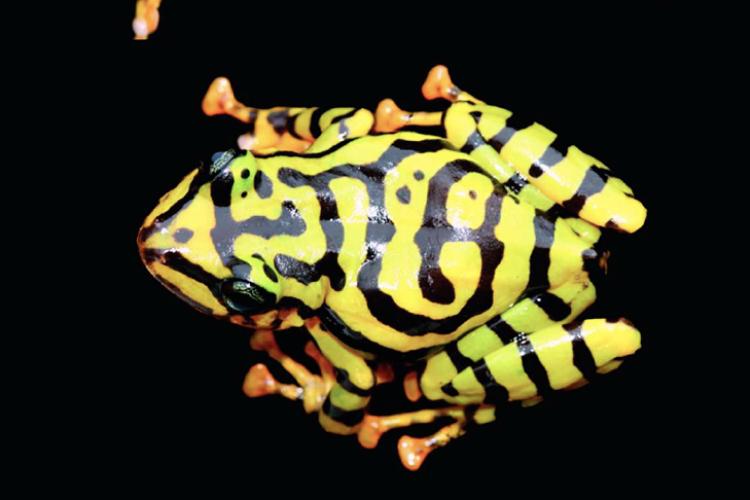 Nueva especie  de rana descubierta en San Francisco de Las Pampas